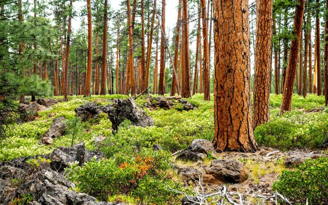 Ponderosa trees in Central Oregon