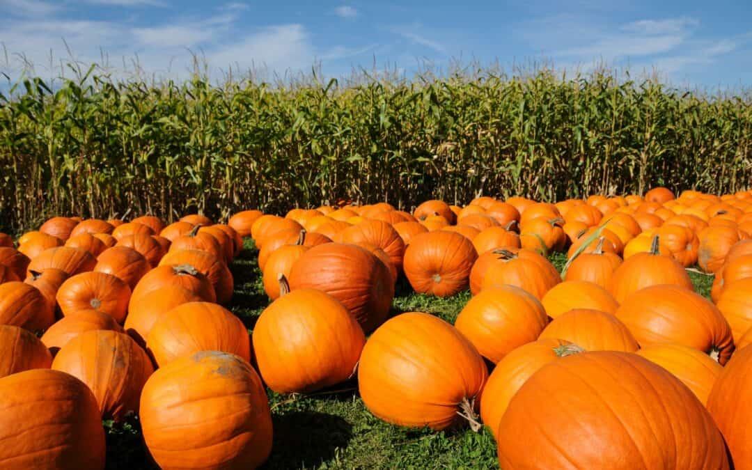 Pumpkins at pumpkin patch during the fall next to corn